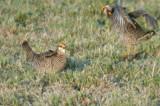 Greater Prairie Chickens