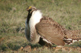 Greater Sage Grouse 3