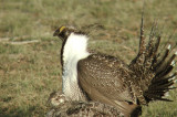 Greater Sage Grouse 6