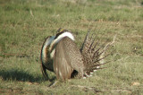 Greater Sage Grouse 9