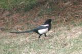 Black-billed Magpie 1