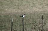 Black-billed Magpie 2
