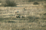 Gunnison Sage Grouse (good looks - poor pictures)