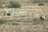 Gunnison Sage Grouse (note the different filoplumes from the Greater Sage Grouse!)