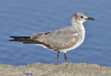 Laughing Gull, 1st cycle