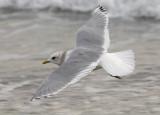 Mew Gull. basic adult