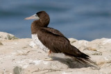 Brown Booby, m. (1 of 5)