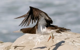Brown Booby, m. (3 of 5)