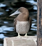 Brown Booby, imm. male 5 of 5)