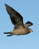 Heermann's Gull, 2nd cycle
