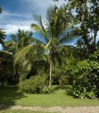 Coconut Palms at Rancho Cilelito.jpg