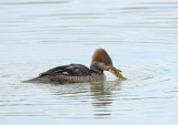 Female Hooded Merganser with perch