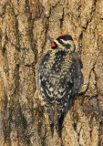 Yellow-bellied Sapsucker - male