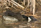 Sick/injured Canada Goose?