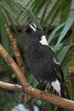 Australian Singing Crow