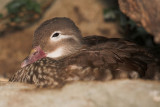 Mandarin Duck - female