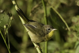Common Yellowthroat - juvenile male
