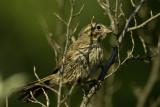 Soggy Sparrow