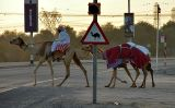 Camels Crossing at the Camel Crossing