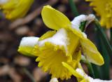 Daffodil Revisted