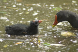 Moorhen with young