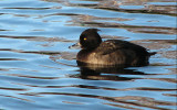 Tufted Duck, female - Aythya fuligula