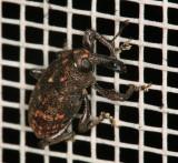 Black Vine Weevil 021807 r1a.jpg
