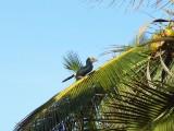 Le toucan hérissé