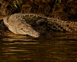 Reptiles & Amphibians of Costa Rica