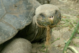 Ancient Galapagos Tortoise