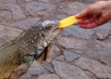 Green Iguana eating mango