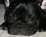 Sparky Ray (French Bulldog)
