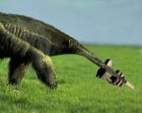 9th: anteater