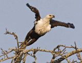 Fish Eagle Takeoff