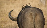 African Buffalo With Oxpeckers