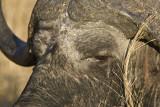 Africane Buffalo