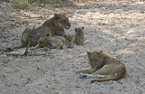 Lionesses and Cubs