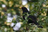 Blackbird