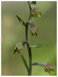 Epipactis microphylla