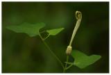 Aristolochia pallida
