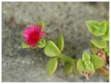 Aizoaceae sp.