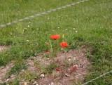 Poppies at Vimy ridge.jpg