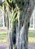 The last tree in Delville Wood.jpg