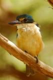 Mrs Sacred Kingfisher