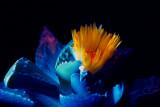 faucaria aquaria