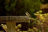 white naped honeyeater