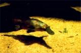 Popular platypus