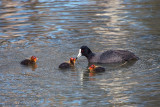 Eurasian coot and chicks