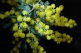 Wattle (Acacia) close-up
