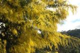 Wattle (Acacia) tree-form